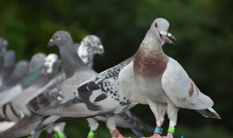 很多人没听过的灰色行业赛鸽有人一天赚数千万